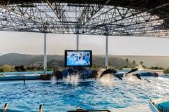 Delphinzeigung im Pool Stockbild