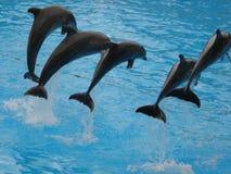 Delphinzeigung in Loro Parque Stockbild