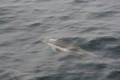 Delphis 2 Дельфина общего дельфина Стоковая Фотография RF