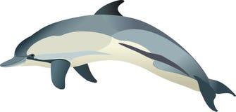 Delphis del Delphinus del delfino Fotografie Stock Libere da Diritti