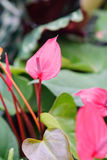 Delray Plants Anthurium Red Royalty Free Stock Photo