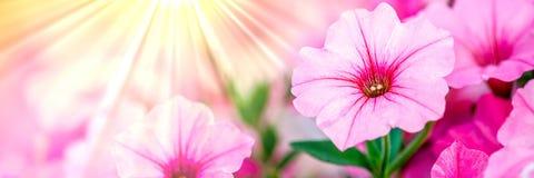 Ρόδινα λουλούδια πετουνιών διανυσματική απεικόνιση
