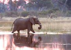 Delta大象okavango 免版税库存照片