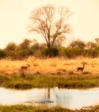 Delta africano com impalas Imagens de Stock Royalty Free
