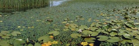 Delta de Danubio - Cu Lebede de Cuibul del lago Fotos de archivo