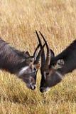 Delta de Waterbuck - de Okavango - Botswana Foto de archivo libre de regalías