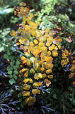 Delta Maidenhair fern. Old Delta Maidenhair fern in Brown Stock Photography
