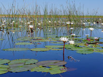 Delta Okavango photo stock