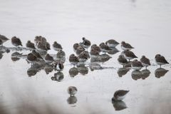 Deltadel pà ², groep regendruppels die in een moeras rusten Royalty-vrije Stock Fotografie