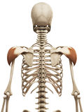 The deltoid Royalty Free Stock Image