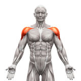 Deltoris Muscles Anterior - мышцы анатомии изолированные на бело- иллюстрация вектора