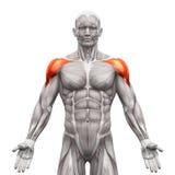 Deltoris Muscles anterior - os músculos da anatomia isolados no branco - Imagem de Stock