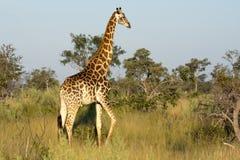 delty żyrafy okavango Obraz Royalty Free