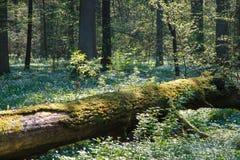 Delvis gått ned dött träd som ligger bland anemon Arkivbild