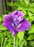 Delvist öppen iris i solen royaltyfri foto