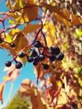 DEM Garten d'aus de Weinlaub photos libres de droits