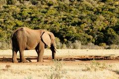 Dem Taged mig - afrikanBush elefant Fotografering för Bildbyråer