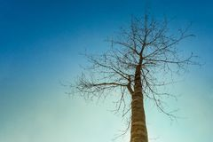 dem trockenen Baum des Himmels die Natur oben betrachten Stockbild