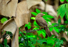 Demalichcha en fågel Royaltyfri Foto
