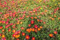 Demasiado de flores rojas con la planta de la hoja crece en la tierra como fondo fotografía de archivo libre de regalías