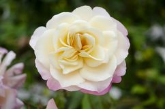 Demask Rose stock photography