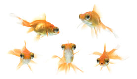 demekin goldfish σειρά Στοκ Εικόνες
