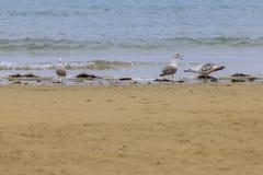 Dementi seagulls Laridae w europejczyk plaży fotografia stock