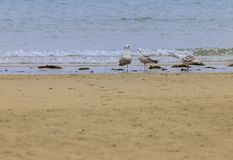 Dementi 3 seagulls Laridae obraz stock