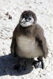 Demersus africain de spheniscus de pingouin Photos stock