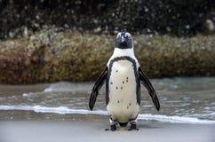 Demersus africain de spheniscus de pingouin Images libres de droits