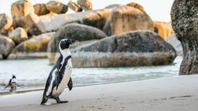 Demersus africain de spheniscus de pingouin Image stock
