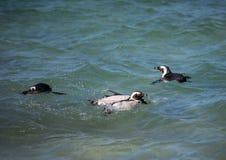Demersus africano dello spheniscus dei pinguini aka alla spiaggia famosa dei massi di Simons Town vicino a Cape Town nel Sudafric fotografia stock libera da diritti