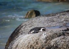 Demersus africano dello spheniscus dei pinguini aka alla spiaggia famosa dei massi di Simons Town vicino a Cape Town nel Sudafric immagini stock libere da diritti