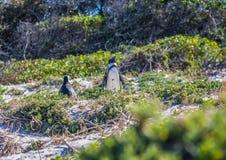 Demersus africano dello spheniscus dei pinguini aka alla spiaggia famosa dei massi di Simons Town vicino a Cape Town nel Sudafric fotografie stock