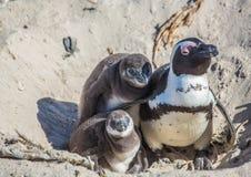 Demersus africano dello spheniscus dei pinguini aka alla spiaggia famosa dei massi di Simons Town vicino a Cape Town nel Sudafric fotografie stock libere da diritti