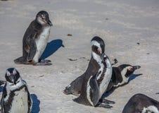 Demersus africano dello spheniscus dei pinguini aka alla spiaggia famosa dei massi di Simons Town vicino a Cape Town nel Sudafric immagine stock libera da diritti