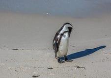 Demersus africano dello spheniscus dei pinguini aka alla spiaggia famosa dei massi di Simons Town vicino a Cape Town nel Sudafric immagine stock