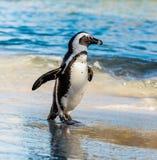 Demersus africano do spheniscus do pinguim Imagens de Stock
