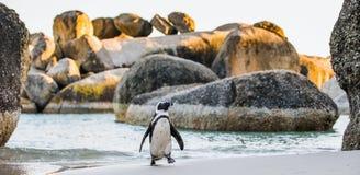 Demersus africano do spheniscus do pinguim Fotos de Stock