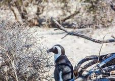 Demersus africano do spheniscus dos pinguins aka na praia famosa dos pedregulhos de Simons Town perto de Cape Town em África do S foto de stock