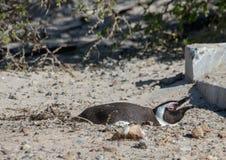 Demersus africano do spheniscus dos pinguins aka na praia famosa dos pedregulhos de Simons Town perto de Cape Town em África do S fotos de stock
