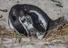 Demersus africano do spheniscus dos pinguins aka na praia famosa dos pedregulhos de Simons Town perto de Cape Town em África do S imagens de stock