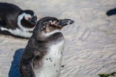 Demersus africano do spheniscus dos pinguins aka na praia famosa dos pedregulhos de Simons Town perto de Cape Town em África do S fotografia de stock royalty free