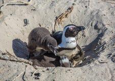 Demersus africano do spheniscus dos pinguins aka na praia famosa dos pedregulhos de Simons Town perto de Cape Town em África do S imagem de stock