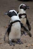 demersus pingwina spheniscus afrykański Obraz Royalty Free