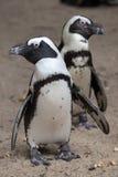 demersus pingwina spheniscus afrykański Zdjęcia Stock