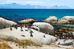Demersus van pinguïnenspheniscus bij Keienstrand, het Nationale Park van de Lijstberg, Zuid-Afrika Royalty-vrije Stock Fotografie