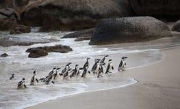 Demersus van Spheniscus van de kolonie Afrikaanse pinguïn op Keienstrand die dichtbij Cape Town Zuid-Afrika van het overzees teru royalty-vrije stock fotografie