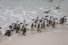 Demersus van Spheniscus van de kolonie ziet Afrikaanse pinguïn op Keienstrand dat dichtbij Cape Town Zuid-Afrika van terugkomt royalty-vrije stock afbeeldingen