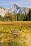 Demi de cerfs communs d'automne de dôme de Yosemite Images stock